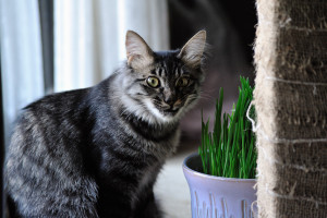 始めは猫草を食んでいたりく
