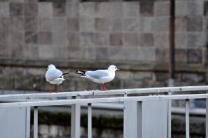 江戸橋と並んで架かる水道橋の手摺にとまる百合鴎