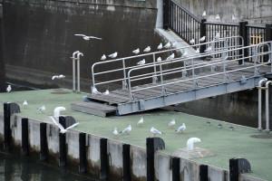 和泉橋近くの百合鴎