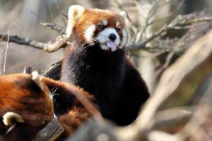 市川市動物園のレッサーパンダメイファの舌出し