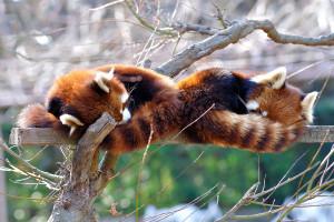 よく寝る市川市動物園の小熊猫イチ丸とメイファ