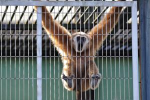 市川市動物園で大きな声を出すのは白手手長猿