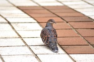 市川市動物園に舞い下りてきた雉鳩