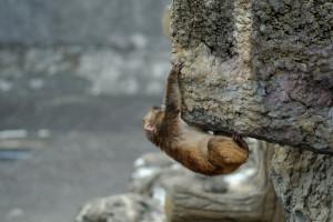 小猿がオーバーハングロッククライミングを始めた