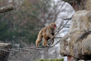 吊橋を渡る親子猿