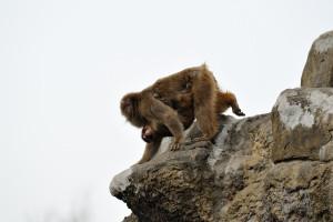岩場を下る親子猿