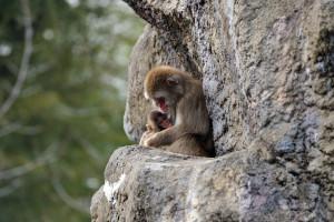 岩棚の親子猿