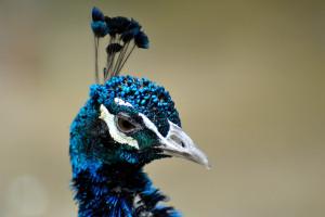 これも孔雀の鶏冠