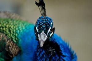 少し上が画面から欠けてしまったが孔雀の鶏冠