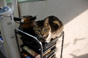 細面の床屋さんの猫