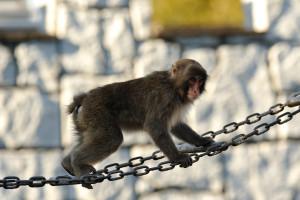 鎖の橋を渡りながらこちらを見る猿