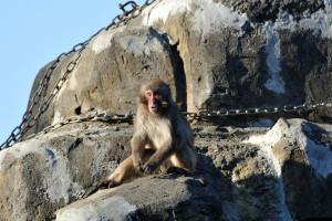仲間と勘違いしてこちらを見る猿