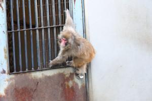 ドアノブで遊ぶ小猿と目が合う