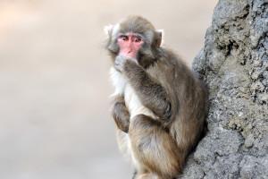絶壁に座る猿と目が合う