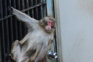 ドアの格子で遊ぶ猿と目が合う