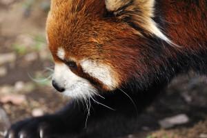 市川市動物園小熊猫イチ丸