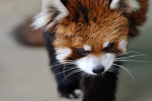 イチ丸の母小熊猫メイファ