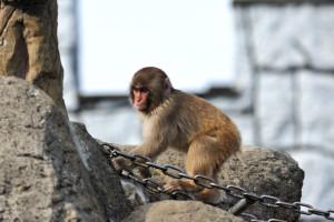 鎖の橋に手をかける猿