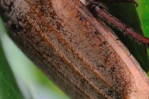 粉吹黄金(コフキコガネ)の翅