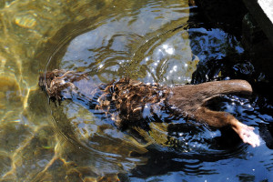 水の中を泳ぐ川獺