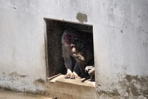 スプリンクラーから降り注ぐ水に触る猿