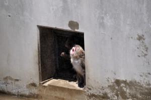 スプリンクラーから降り注ぐ水を口で受ける猿