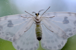 星鼈甲鈎翅(ホシベッコウカギバ)