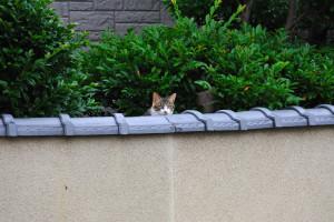 塀の上から顔を出す猫