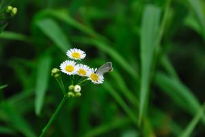 燕小灰蝶(ツバメシジミチョウ)