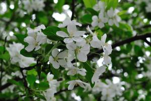 姫林檎の花