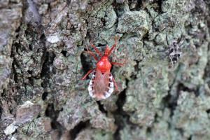 羽化直後の横綱刺亀成虫