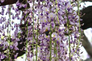高圓寺の藤に熊蜂