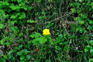 花弁が6枚の山吹草