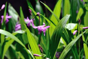 市川市動植物の紫蘭