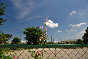 ゲートボール場に立葵