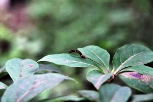 黒文字に薄白枝尺の幼虫