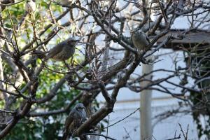 鵯(ヒヨドリ)と椋鳥(ムクドリ)