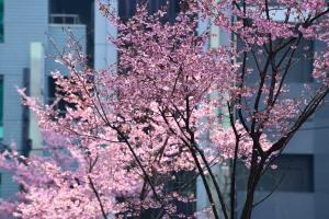あじさい通りのおかめ桜