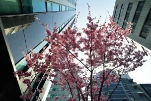 日本橋あじさい通りおかめ桜
