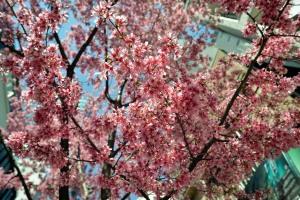日本橋本町あじさい通りおかめ桜