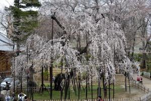 真間山弘法寺の樹齢400年の伏姫桜