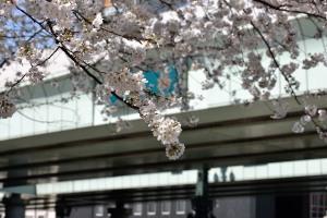 日本橋滝の広場の桜