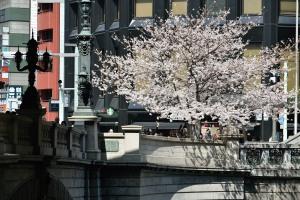 日本橋乙女の広場の桜