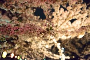 真間川夜桜