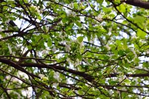 だいぶ咲いてきた姫林檎の花