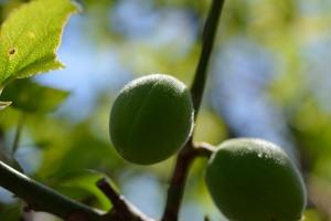 杏の実の産毛