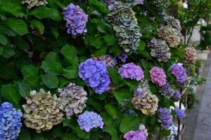見頃をとっくに過ぎたギャラリーシュテルンの紫陽花