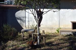 木登りレッサーパンダ