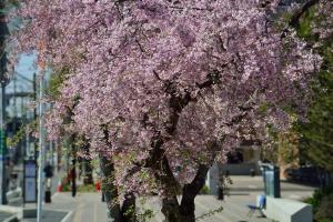 昭和学院の桜