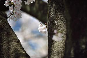 真間川の桜